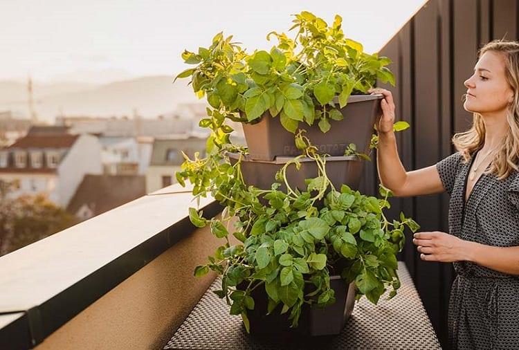 Growing Potato On Balcony
