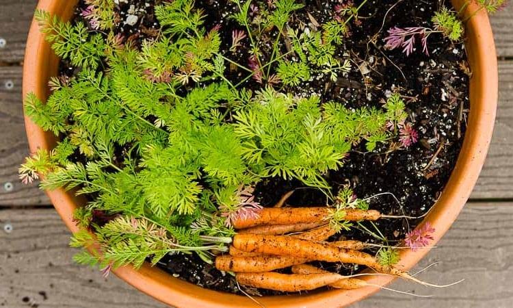 Container Garden Carrots