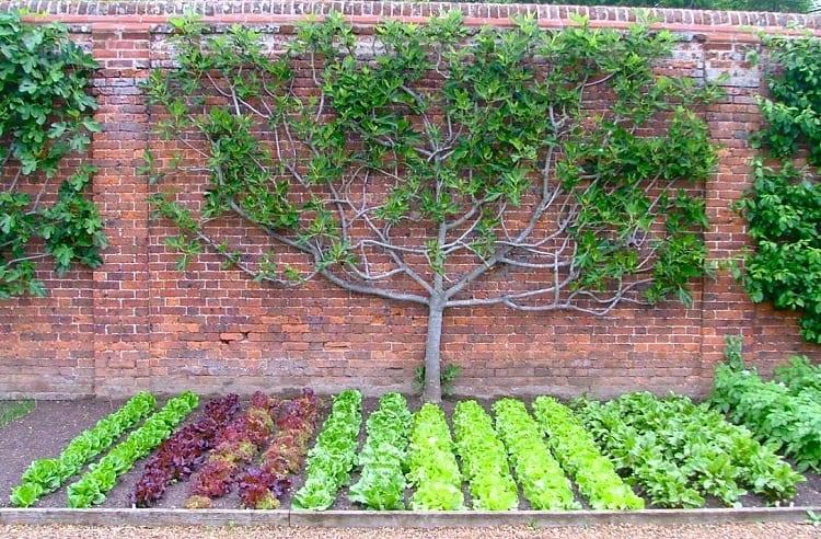 Urban Garden Fruit Tree