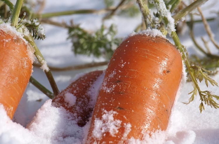 Carrots in Snow