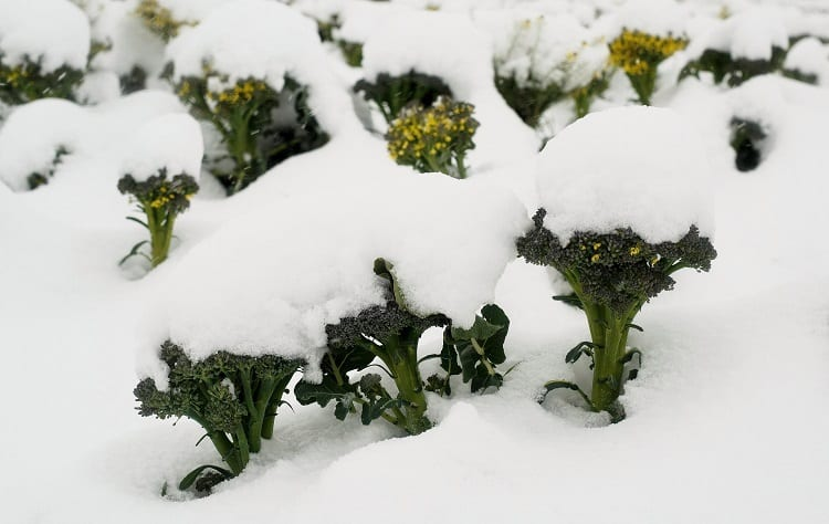 Snow On Broccoli