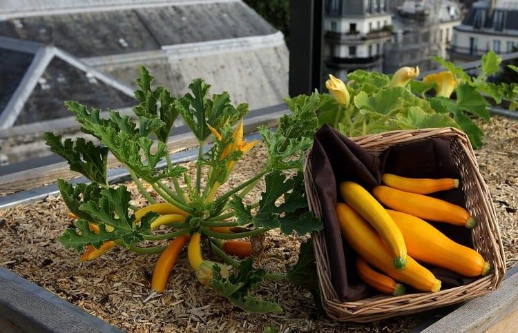 Urban Garden Zucchini