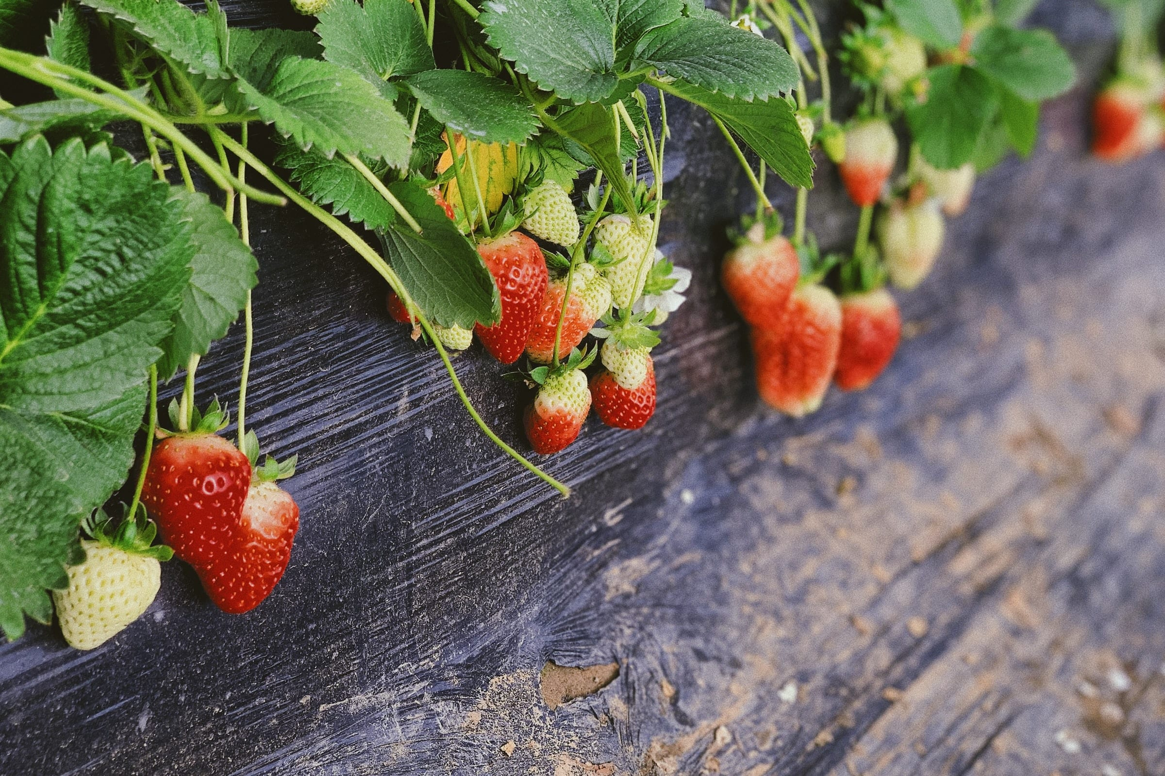 How to Grow Strawberries at Home 4