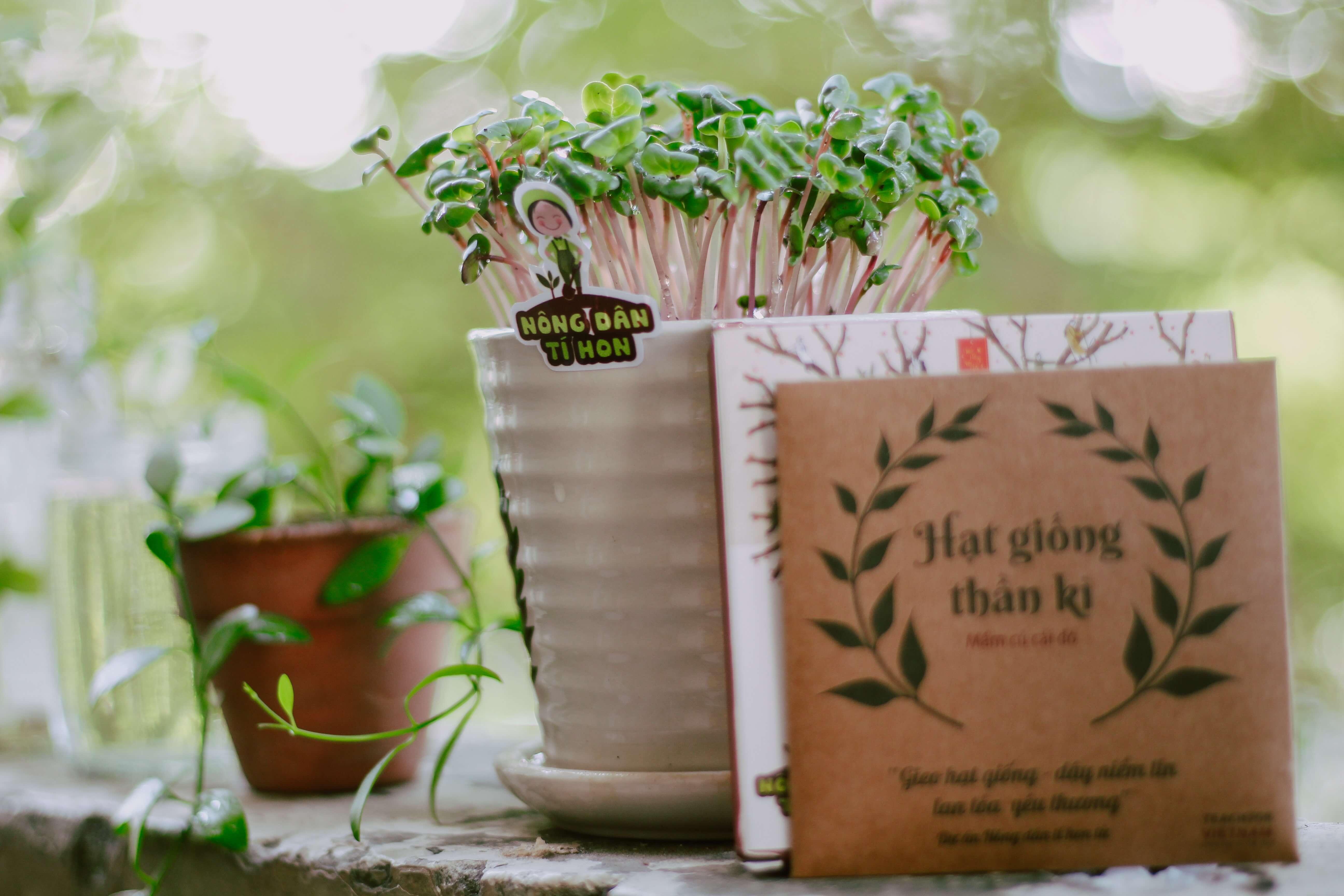 Broccoli Sprouts planted in a white ceramic pot