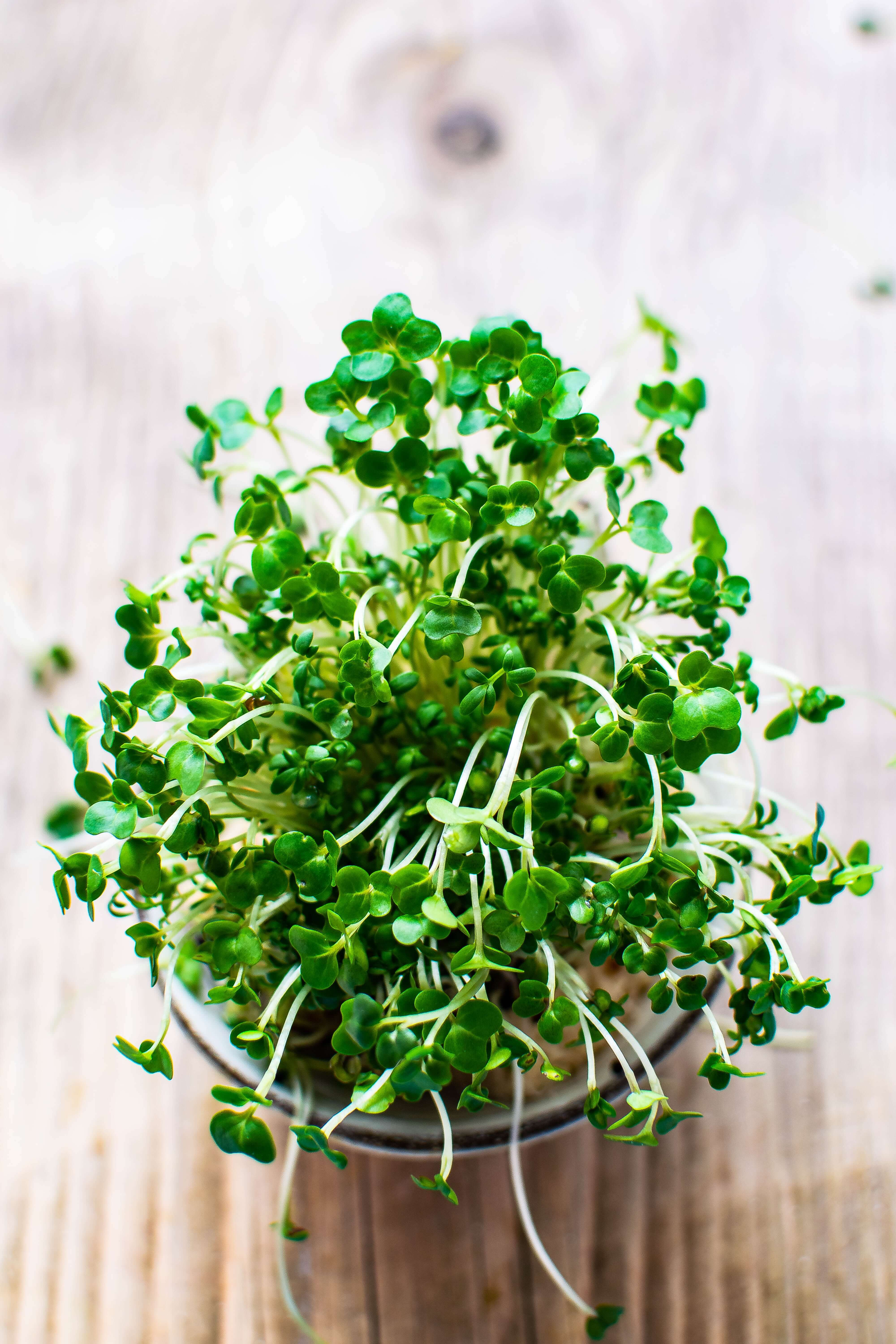 Broccoli sprouts in a pot