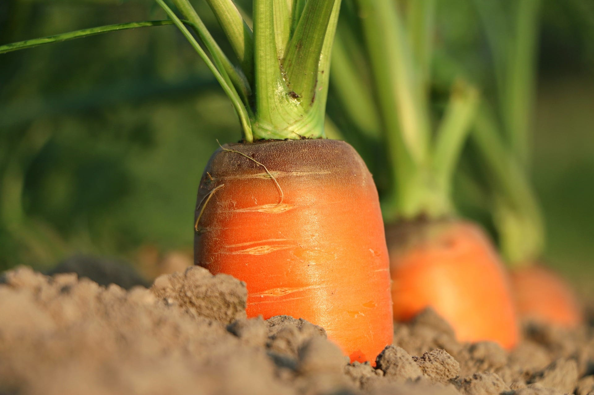 How To Grow Carrots Indoors 1