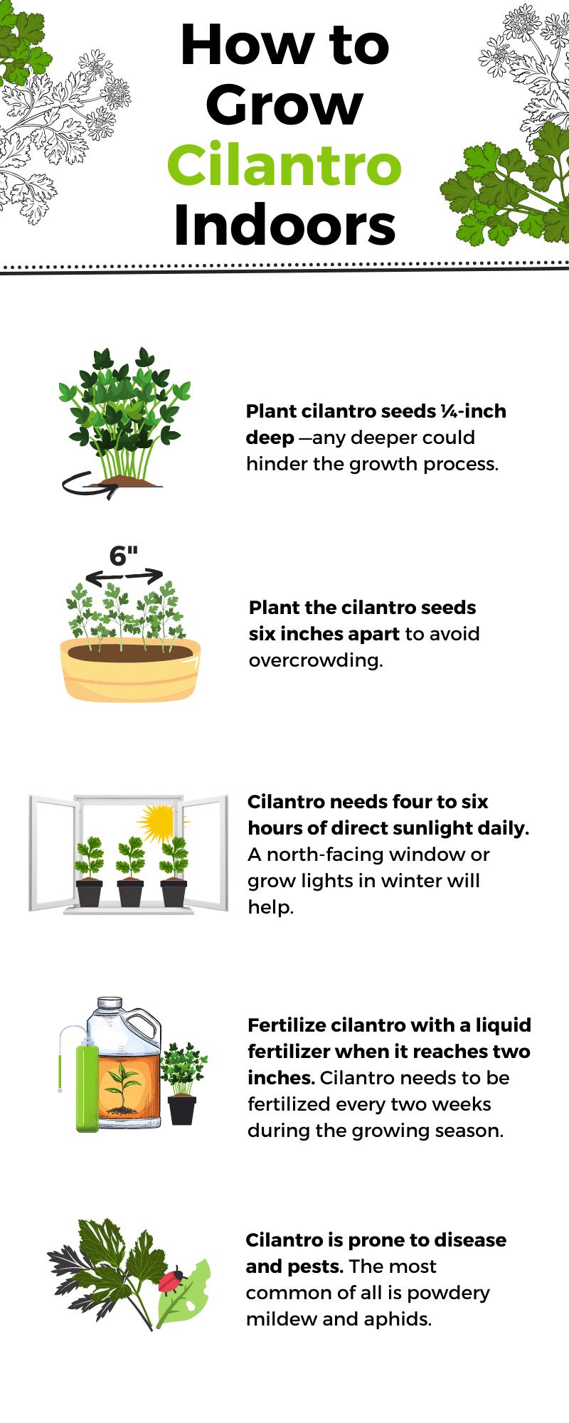 How to Grow Cilantro Indoors infographic