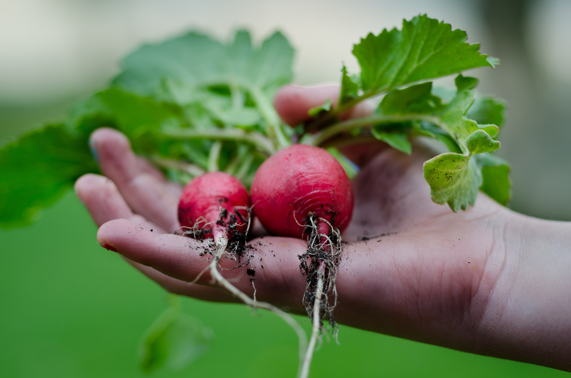 How-To Guide for Growing Radishes in Containers